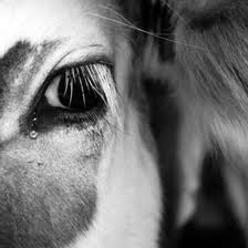 crying_cow