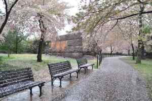 cherry_blossoms_in_the_rain