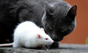 cat-rat