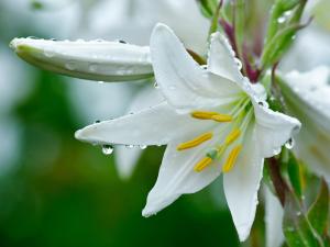 dew_drops_lilies