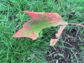 torn_leaf
