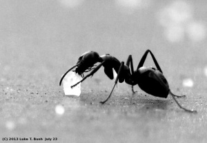 sugar_ant