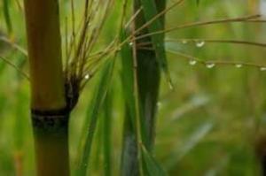bamboo-rain