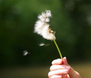 blowing_dandelion_weeds