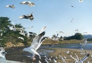 california_seagulls