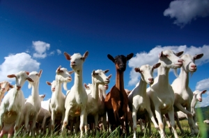 lost_goats