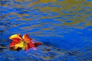 maple_leaf_floating_on_river