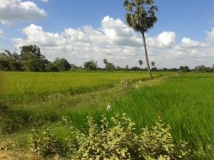 rice_field-siem_reap-lam_hao_dung