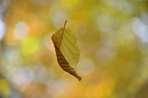 falling_autumn_leaf