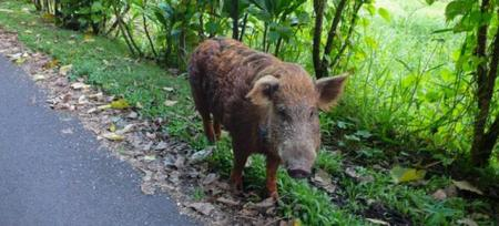 boar_on_road