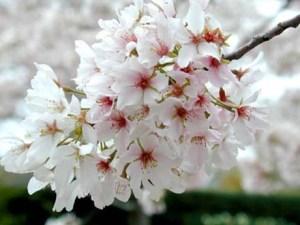 yoshino_flowering_cherry_bloom
