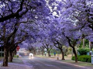 jacaranda_tree