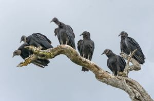 black_vultures