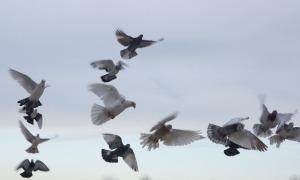 flying_pigeons