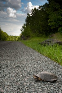 turtle_on_road