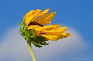 Tập Truyện Ngắn Tình Cảm: Một Nửa Người Đàn Ông  Sunflower_in_the_wind